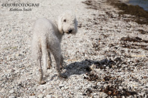 Bedlington terrier på strand