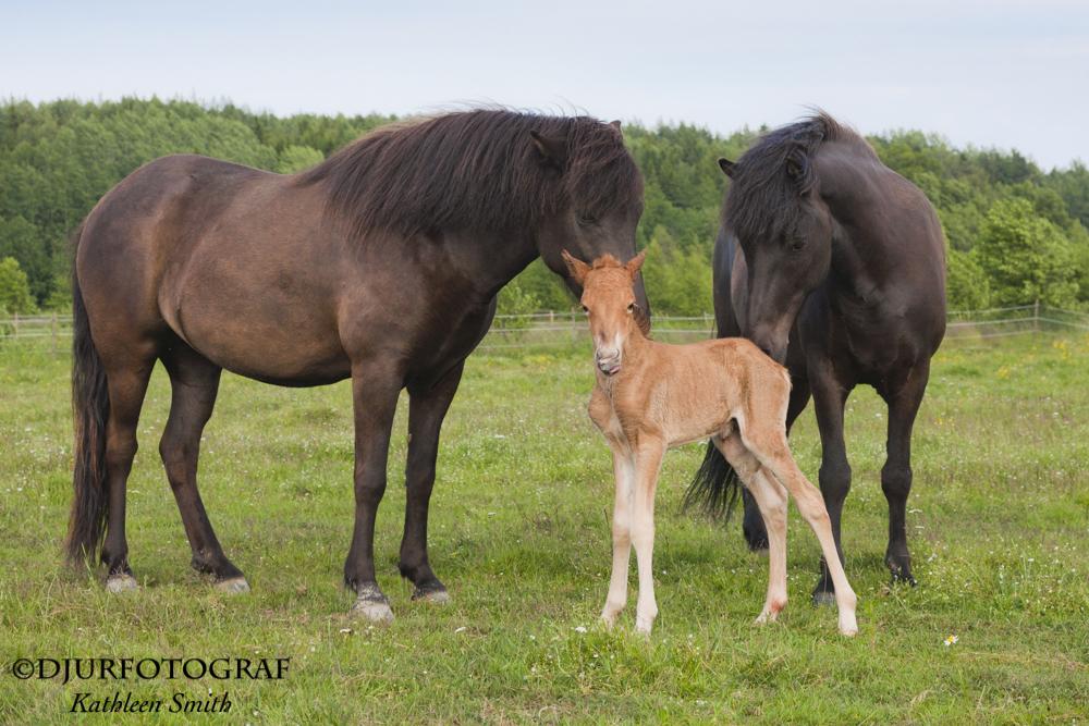 Freyja och Dokka är nyfikna på den nya flockmedlemmen.