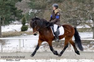 Islandshäst på tävling