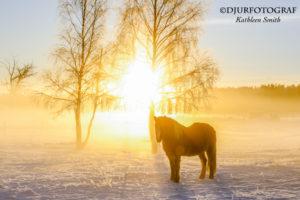 Islandshäst i vintrigt landskap