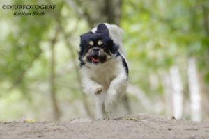springande tibetansk spaniel