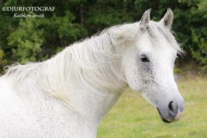 Porträtt av arabhäst
