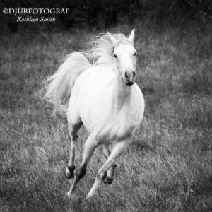 Springande arabhäst