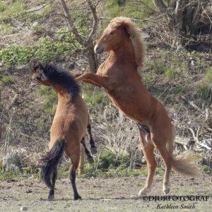 två unga islandshästar leker