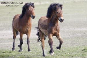 två unga islandshästar springer