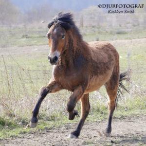 ung islandshäst springer