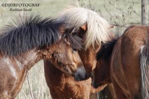 unga islandshästar som hälsar på äldre