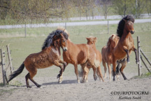 islandshästar som leker
