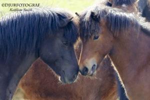ung islandshäst hälsar på en äldre