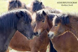 två unga islandshästar hälsar på en äldre