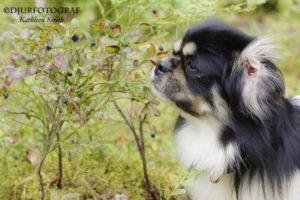 tibetansk spaniel äter blåbär