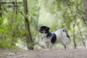 Tibetansk spaniel i skogen