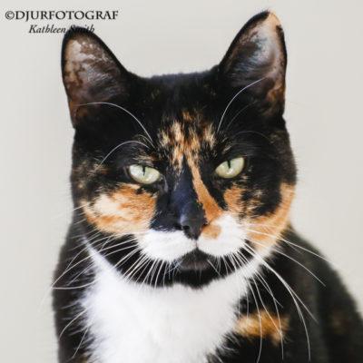 Cissis katter