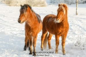 Två unga islandshästar