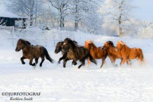 Springande islandshästar